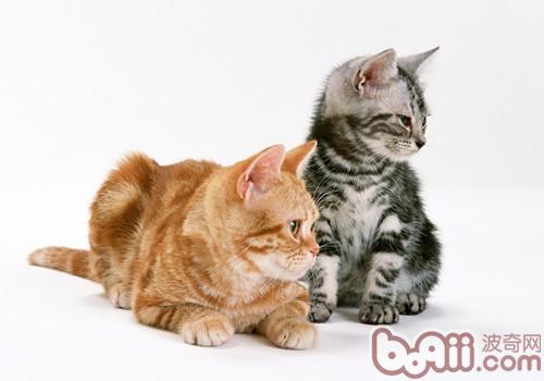 猫咪眼睛受伤的应对措施-成猫饲养
