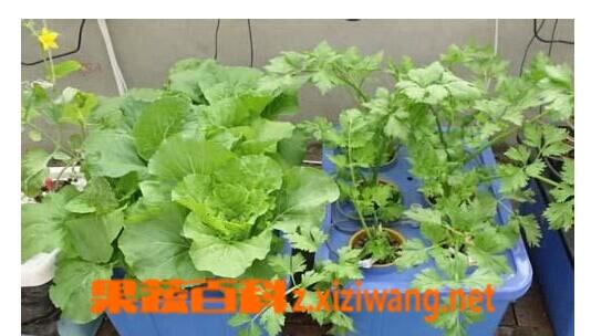 果蔬百科阳台种菜的方法技巧